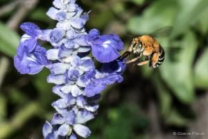 nativebee_bluebandedbee2
