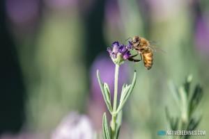 nbh honeybee 041016 1sml