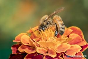 nbh honeybee marigold