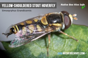 nbh pestsgraphic stouthoverfly