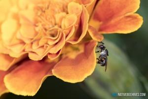nbh stinglessbee marigold