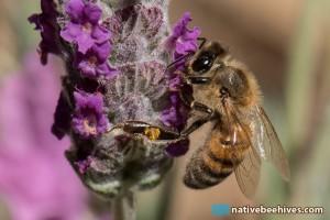 honeybeelavender